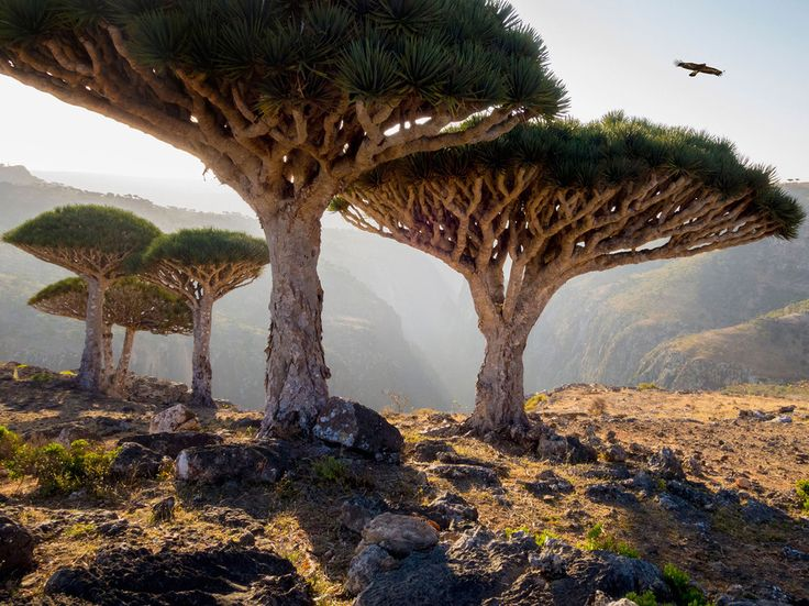 """Marooned in the Indian Ocean, this isolated archipelago of four islands claims hundreds of unique species and is well known for its alien landscape. If you think the shape of this Dracaena cinnabari tree is weird, wait until you find out that its name translates to """"dragon's blood tree"""" thanks to its red sap, which is traditionally used as a dye."""