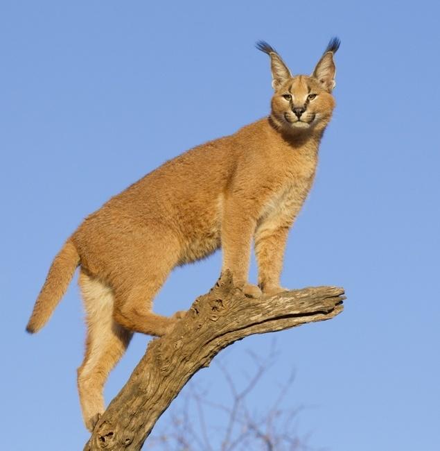 Exotic Feline: 12 lesser known species | RedGage