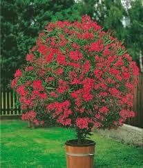 """Résultat de recherche d'images pour """"petit arbuste fleur rouge"""""""