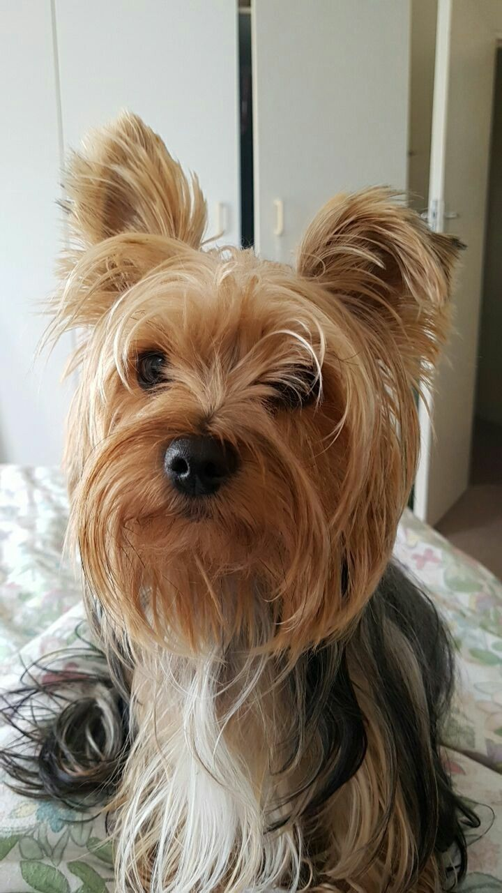 The Feed Me Now Human Stare Yorkshireterrier I Love Yorkies