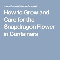 How to Grow and Care for the Snapdragon Flower in Containers
