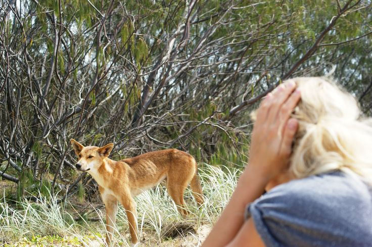 Fraser Island and a close meeting with a dingo #eastcoastaustraliatour #nolimitadventures  http://www.nolimitadventures.com.au/australia-east-coast-adventure/