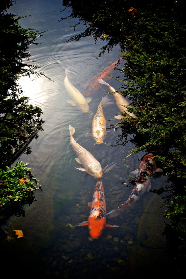 22 best images about botanical garden fish on pinterest for Koi pond builders near me