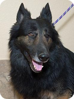 Pictures of Blackjack a German Shepherd Dog for adoption in Colorado Springs, CO who needs a loving home.