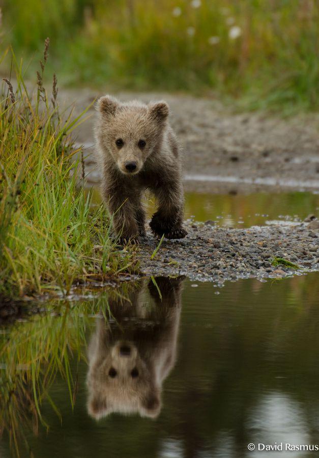 Baby brown bear near Silver Salmon Creek Lodge (Alaska) photo by David Rasmus