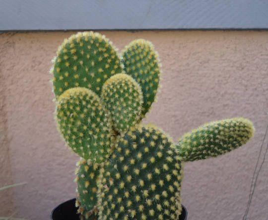 Bunny Ear Cactus-Opuntia Microdasys