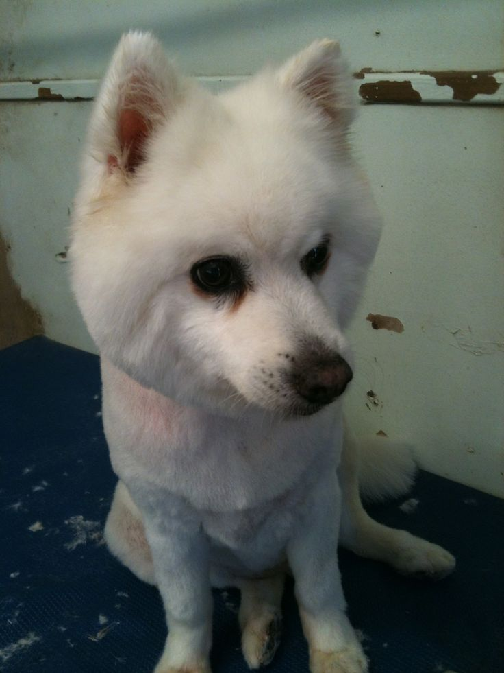 Suki Japanese Spitz Usually I Would Not Clip This Breed