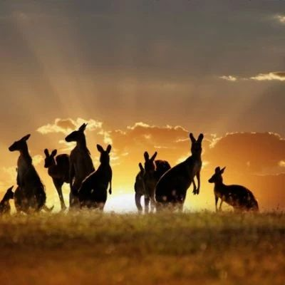 GREY KANGAROO....aka the Great grey kangaroo and the scrub kangaroo....found in the eastern half of Queensland, the majority of New South Wales and Victoria and small areas of South Australia....measures 3.25 feet long with a 35.5 foot tail