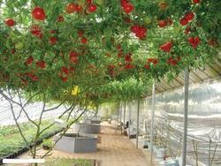 Выращивание помидорного дерева в обычных условиях