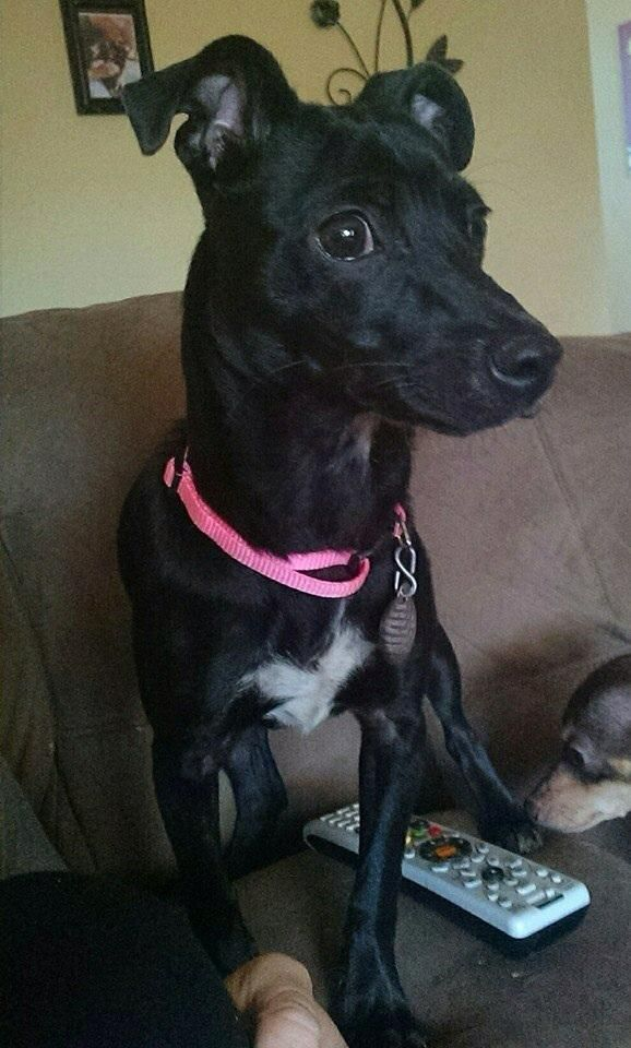 Adopt CoCo on Italian greyhound dog, Grey hound dog