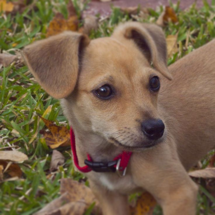 how to train a chiweenie puppy