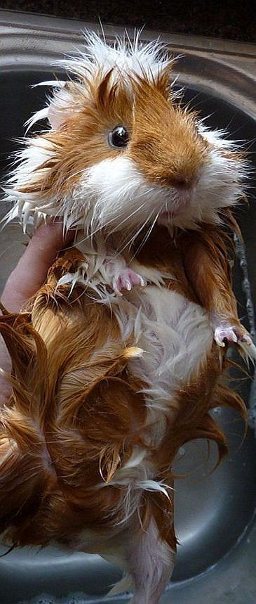 Guinea pig bath: more difficult than you'd think!