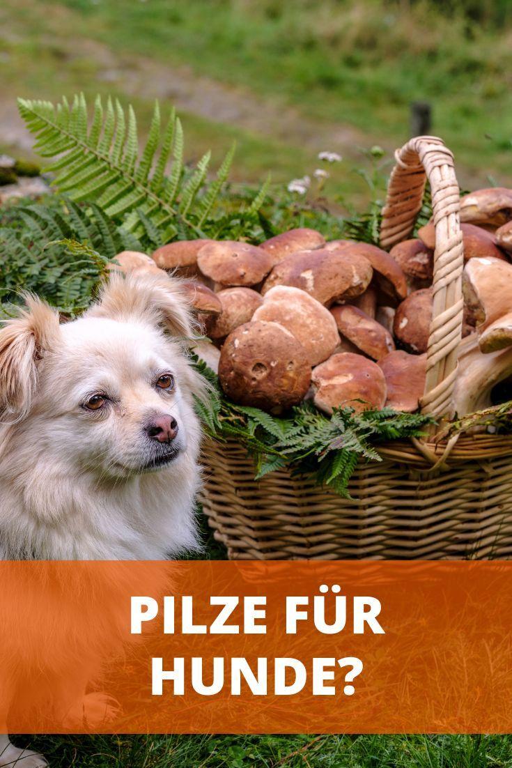 Durfen Hunde Champignons Essen Roh Gekocht Oder Immer Giftig In 2020 Hunde Hunde Futter Hunde Ernahrung