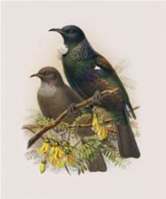 As depicted in the book of Buller's Birds, 1888. These prints are rich in colour and character. •Paper size A4 •Archival print •Protective clear bag  #inspiredliving.co.nz #nznatives #tui