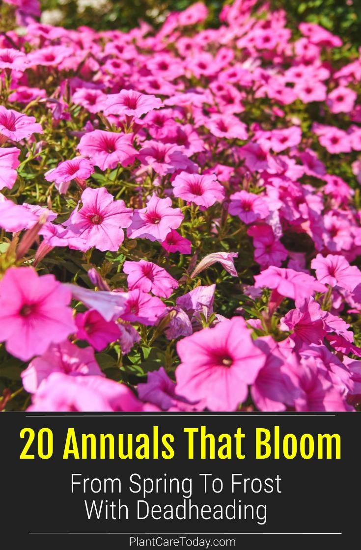 20 Annuals That Bloom From Spring To Frost With Deadheading In 2020 Growing Geraniums Bloom Mexican Sunflower