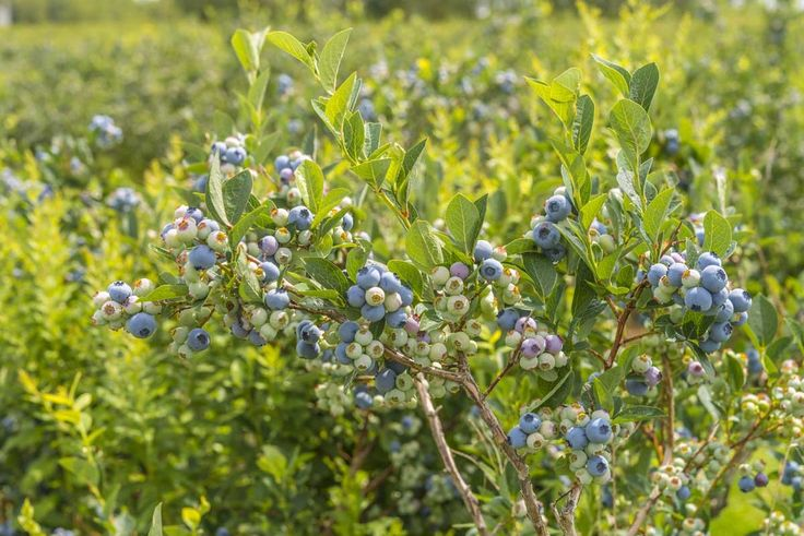 This fall, try an apple tree instead of a dogwood or a row of blueberry bushes instead of hydrangeas.