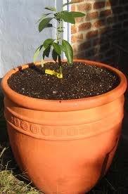 growing avocado in a pot
