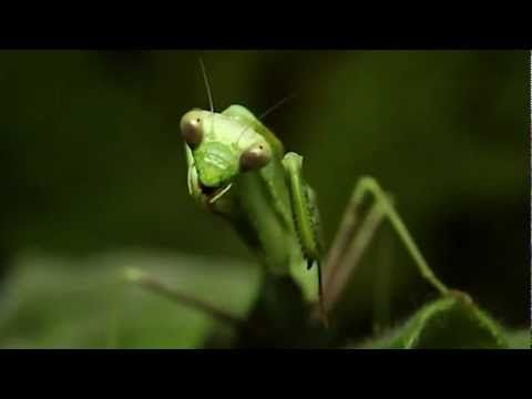 True Facts About The Mantis by Ze Frank