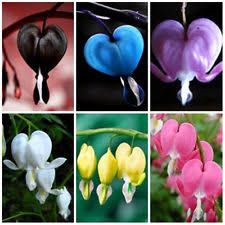 Image result for bleeding heart flower