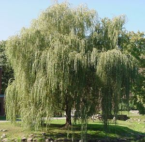 weeping willow tree ~ the big one in our yard growing up had a trunk that split three ways~great place to crawl up in and sit