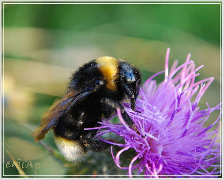 Late evening walk over the hill and this lonely bee was having his supper in the thistles