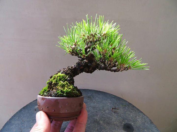 1000 ideas about bonsai plants on pinterest bonsai bonsai garden and bonsai trees. Black Bedroom Furniture Sets. Home Design Ideas