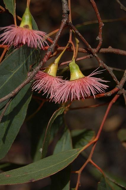 Red Ironbark (Eucalyptus tricarpa) by elizabethdonoghue, via Flickr. Victoria australia
