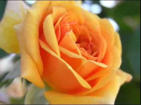нежная песня поздравления с днем рождения и много роз!! Мне подарили!