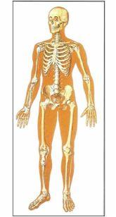 3301674651876-poster_lo_scheletro_umano_lato_anteriore_cm_84_x_200