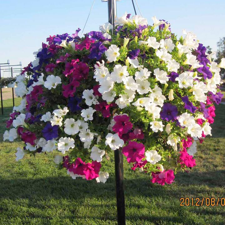 Hanging basket petunia surfinia large flowered mix for Surfinia balcone