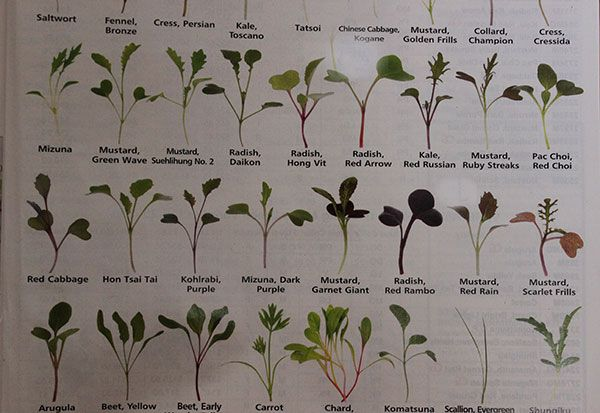 List of Microgreen Possibilities When you are first learning how to grow microgreens you might feel overwhelmed when you realize the pote...