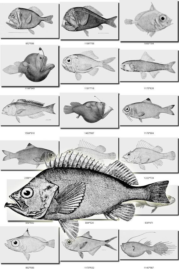 FISHES-11-bw Collection of 430 black-and-white vintage images pictures High resolution digital download printable water sea animals 300dpi