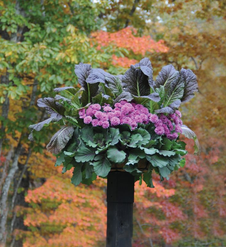 This Basket (planted With Decorative Cabbage, Kale, And Mums) Looks Like A