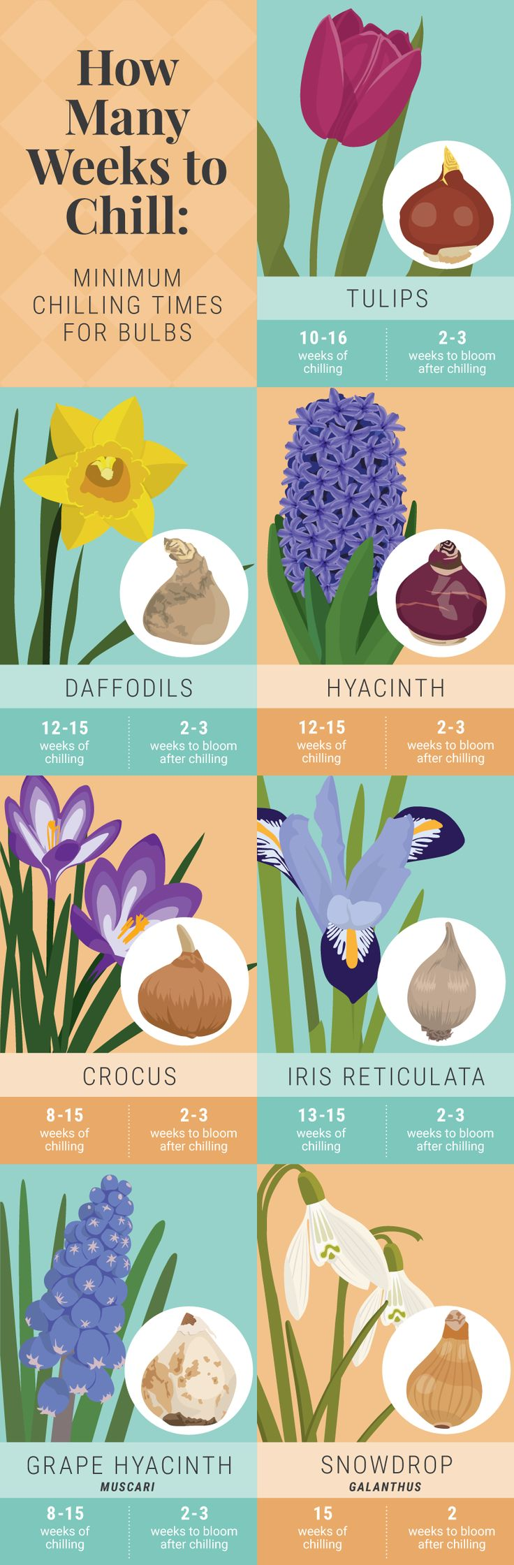 How Many Weeks To Chill Bulbs - Forcing Bulbs
