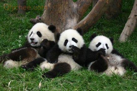 Love Them! Panda Panda Panda Panda Panda Panda #Panda