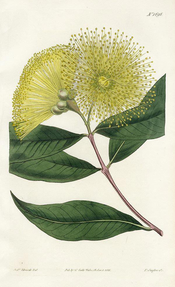 .: Narrow-leaved Eugenia, Curtis Botanical Magazine Protea Prints 1787 :.