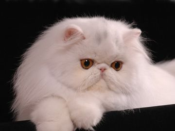 I colori dei gatti persiani - Gattipersiani.it - Gatti Persiani