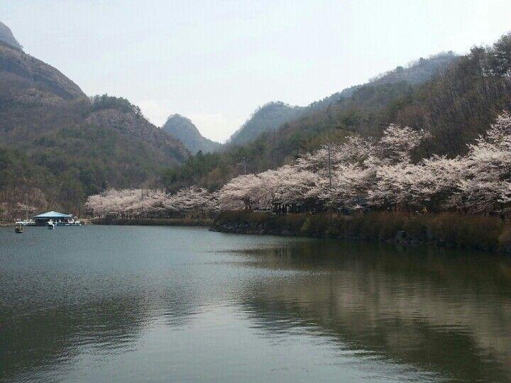 호수에 묻힌 마이산  벚꽃과 친구가 되다