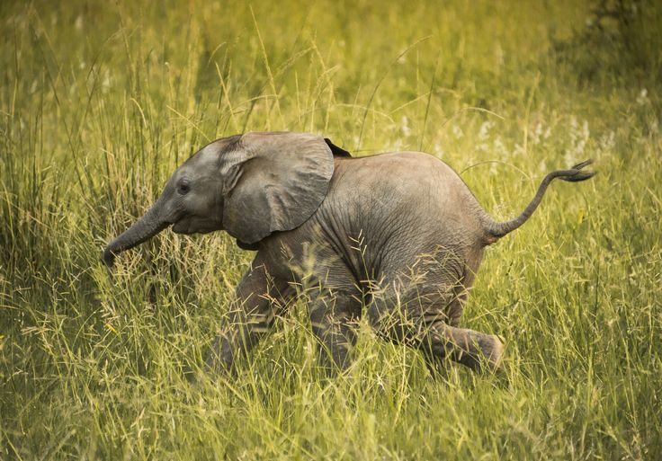 Wait for me! by Adam Rozanski on 500px #africa #animal #baby #big 5 #big5 #elephant #kruger #nikon #running #safari #african elephant