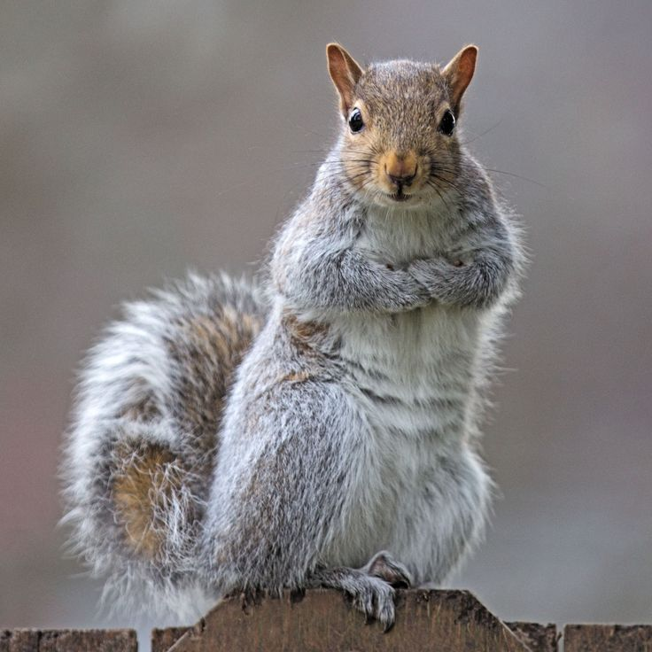 Eastern gray squirrel 34 by EasternGraySquirrel.deviantart.com on @deviantART