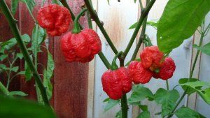 """Hinterland Trading Trinidad Moruga Scorpion Seeds 10+ by Hinterland Trading. $3.20. Over 2+ Million Scoville Units! #1 Hottest Pepper. Over 2x Hotter Than The Bhut Jolokia Ghost Pepper. The """"Moruga"""" Blend Became World's #1 Hottest Pepper. Over 2+ Million Scoville Units! #1 Hottest Pepper. The """"Moruga"""" Blend Became World's #1 Hottest Pepper. Over 2x Hotter Than The Bhut Jolokia Ghost Pepper."""