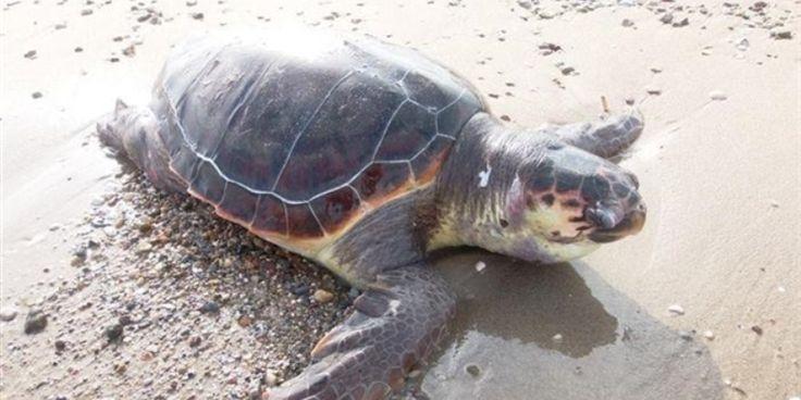 Ανησυχία για τις νεκρές θαλάσσιες χελώνες Caretta caretta