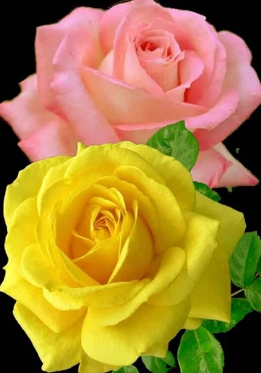 Gorgeous Pink And Yellow Rose Flowers.
