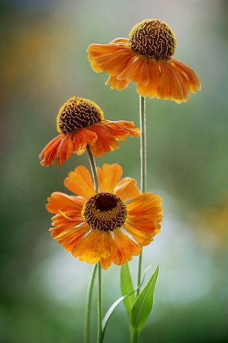 Heleniums- I just discovered them and really like 'em!