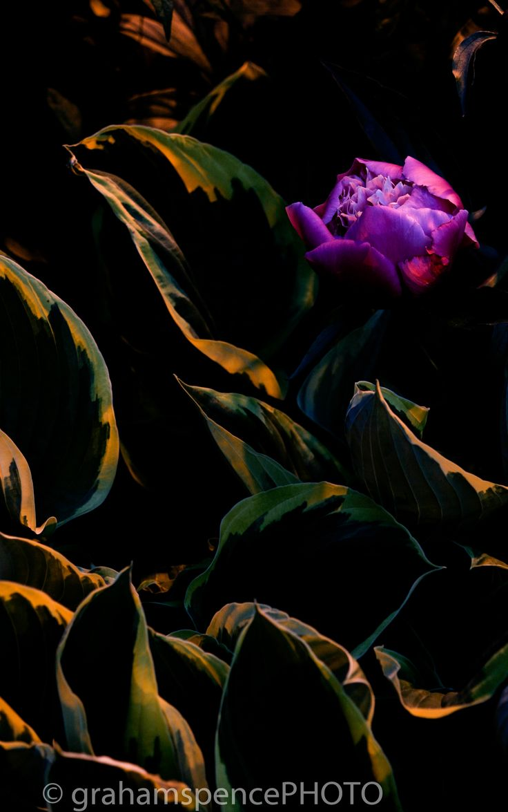 Midnight Peony - Time exposure of a peony at midnight, in the Barclay Manor gardens, Vancouver, BC. The only light source was one city light post.