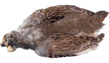 Hungarian Partridge Skin at Cabela's