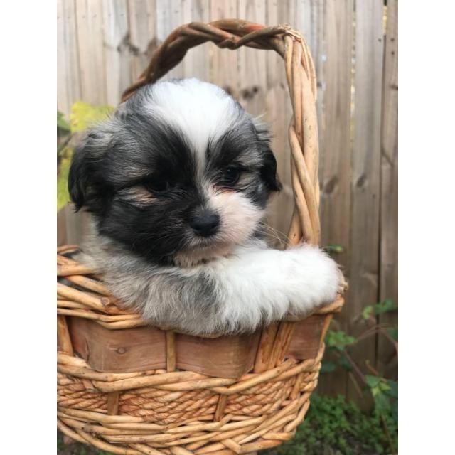 Havanese Puppy For Sale In Houston Tx Adn 55435 On Puppyfinder