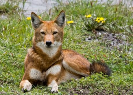 Only 500 of these Ethiopian wolves are left in the wild. The have fox-like coloring.