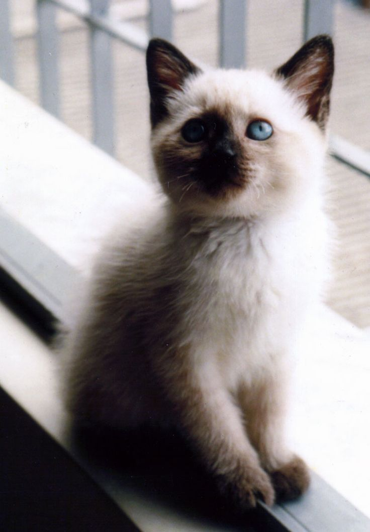 Cream and Brown Burmese Kitten  This fluffy little kitten has been caught on the window sill but has managed to turn around and pose for the owner while the photograph is being taken. He looks like a Burmese due to the colouring of his coat and a very cute one at that.