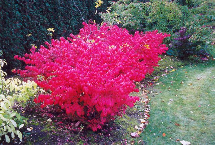 Compact Winged Burning Bush- A spectacular and compact garden shrub which turns a luminous florescent pink color in fall, very showy; a shapely mounded growth habit and interesting corky wings on the branches; a very popular and adaptable landscape plant